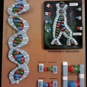 DNA-DEOXYRIBONUCLEIC ACID MODEL