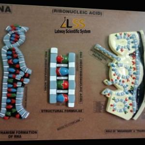 RNA-RIBONUCLEIC ACID MODEL