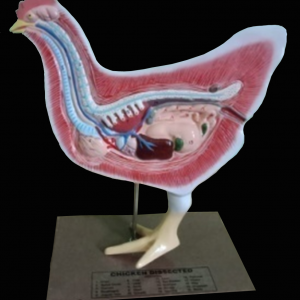 HEN DISSECTION MODEL